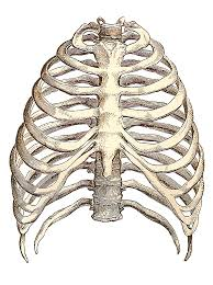 The thoracic cage consists of the 12 thoracic vertebrae, the associated intervertebral discs, 12. Animal Rib Cage Anatomy Page 1 Line 17qq Com