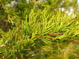 Christmas Tree TypesTypes Of Fir Christmas Trees