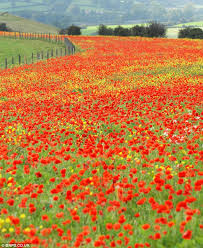 Image result for images of fields of poppies