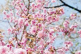 Bunga Sakura Nggak Perlu Ke Jepang Indonesia Punya 6 Tempat Buat Lihat