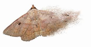 What Did Moths Do Before Lights The Insect Apocalypse Is Coming Hong Kong Moth Study Shows