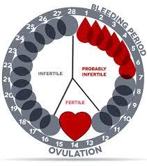 Women U S Menstrual Cycle And Pregnancy Chart Www