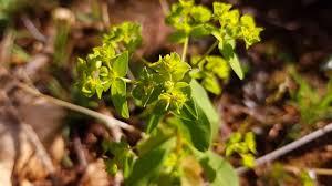 Euphorbia pterococca · iNaturalist