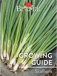 learn about scallions bur