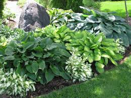 Small Picture landscape with hostas Mixed varieties of hostas are often