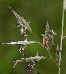 Festuca trachyphylla - Michigan Flora