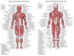 Amazon Com Human Body Anatomical Chart Muscular System