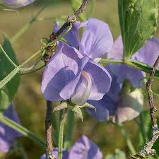 Sweet Pea 'Flora Norton' - Lathyrus odoratus seeds - Select Seeds
