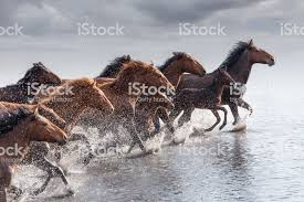 wild horses running through water. Wonderful Through Herd Of Wild Horses Running In Water Royaltyfree Stock Photo For Through G