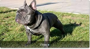 blue frenchie stud dog