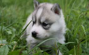 baby husky wallpaper. Modren Wallpaper Babywolfphotoswallpaperjpg Intended Baby Husky Wallpaper M