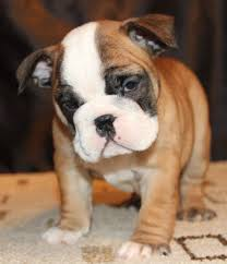 english bulldog puppies for in austin colorado from jonesboyz