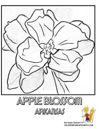 Small Picture Arkansas State Flower Coloring Page Apple Blossom USA Coloring