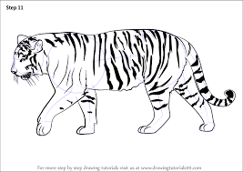 tiger drawing pictures. Plain Drawing Learn How To Draw A Siberian Tiger Big Cats Step By  Drawing  Tutorials Intended Pictures