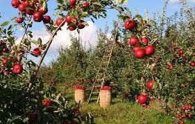 fruit trees wallpapers. Unique Trees Apple Orchard Apple Trees Red Green On Fruit Trees Wallpapers P