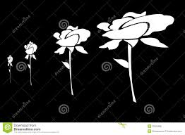 White Roses Drawn On Black Background Stock Photo Image Of Natural