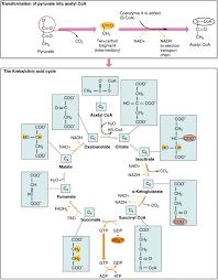 2 krebs cycle