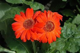 Royal Deep <b>Orange Gerbera</b> Daisy | Calloway's Nursery