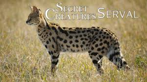 Secret Creature: Serval Cat - YouTube
