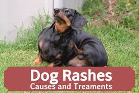 Dog Skin Rashes: Symptoms, Causes, and Cures | PetHelpful