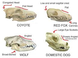 Small Animal Skull Identification Chart Identify This Skull Page 2 Dog Skull Fox Skull Wolf Skull