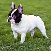 black and white french bulldog. Modren French The French Bulldogu0027s Coat Is Short Soft And Smooth Acceptable Show  Colors Are Brindle Fawn White Combinations Of Brindle Or Fawn With White For Black And White Bulldog F