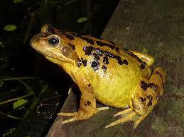 garden frogs. Perfect Garden Wildlife Frogs For Garden N