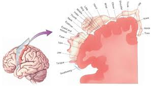 the relative homuncular representation of the primary motor cortex reveals the relative sizes of the regions