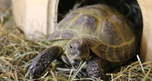 How To Create The Ideal Russian Tortoise Habitat Petcoach
