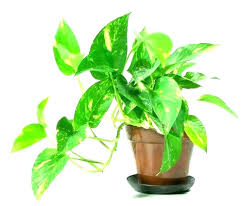types of indoor plants flowering house plants with names indoor plants with names common house plants types of indoor plants