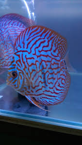 Pin by Scott Rouse on Discus | Discus fish, Discus aquarium, Freshwater fish