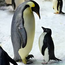 real emperor penguin. Brilliant Real Emperor And Adlie Penguin On Real