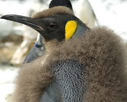 emperor penguin food chain. Beautiful Emperor King Penguin Throughout Emperor Food Chain O
