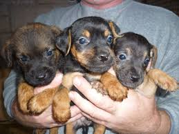 black and brown terrier mix. Delighful Black Patterdale Terrier Puppies Intended Black And Brown Mix O
