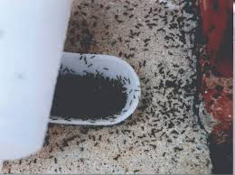 Little Black Bugs In Kitchen Little Black Ants How To Get Rid Of Small Tiny Black Ants