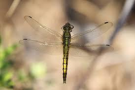 sardinia s dragonflies