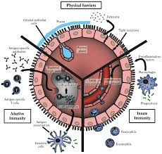 Figure 10 5 Diagram Of Innate And Adaptive Immunity The