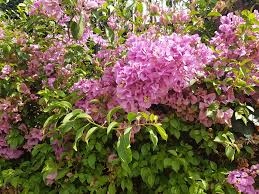 bougainvillea perfect for fence lines and walls