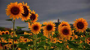 Sunflower Wallpaper, Image, Background ...