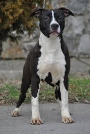 black american staffordshire terrier. Modren Black American Staffordshire Terrier Puppy  DogSpotin To Black E