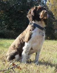 English Springer Spaniel Dog Breed Information And Pictures