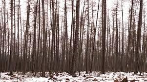 Лесной форум Гринпис России • Просмотр темы О лесных культурах  Оптимальная густота насаждений искусственного происхождения лесных культур должна регулироваться правильными и своевременными рубками ухода