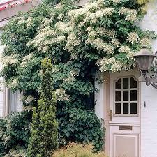 Plants For Window Boxes U0026 Front Garden Ideas HouseandgardencoukWall Climbing Plants