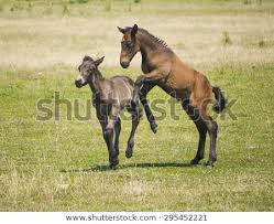baby horses playing.  Baby Two Brown Baby Horses Playing On The Field During Summer With Baby Horses Playing 0