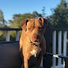 Pitbull Size Chart American Pit Bull Terrier Wikipedia