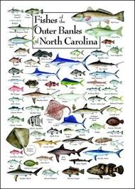 Nc Saltwater Fish Identification Chart Pin By Elan Vacations On The Outer Banks In 2019 North
