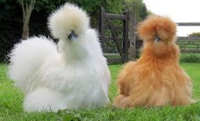 """Résultat de recherche d'images pour """"poule"""""""