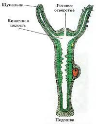 Строение и характеристика кишечнополостных полипов гидра и  Рис 63 1 Внутреннее строение гидры