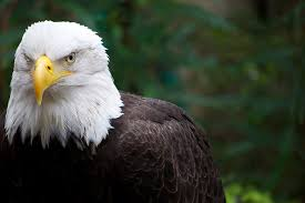 Small Picture Eagle Facts for Kids