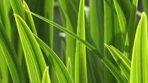 Green Grass Blades Macro Close up Sunlight shines Through Stock
